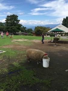 もちろん羊やヤギもいて、彼らのお散歩もできます