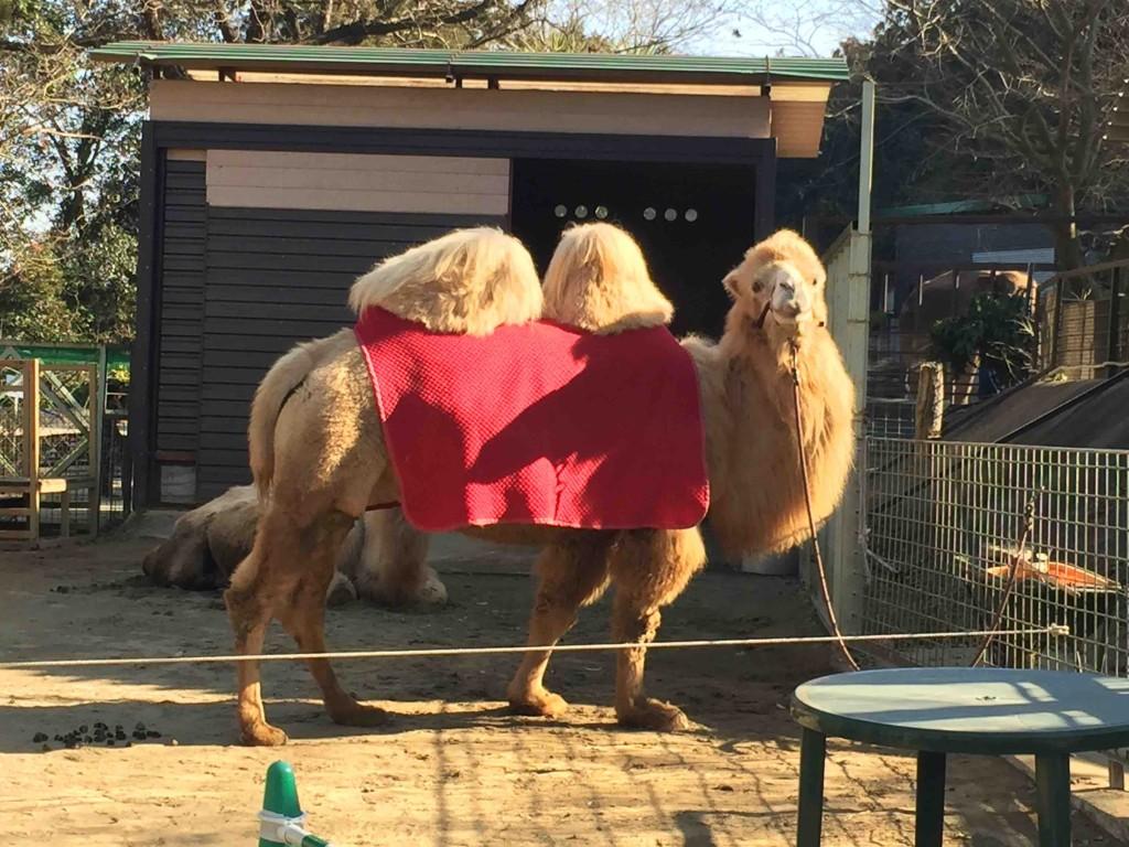 ラクダも2頭。ちょっとびっくりするくらい大きい!!