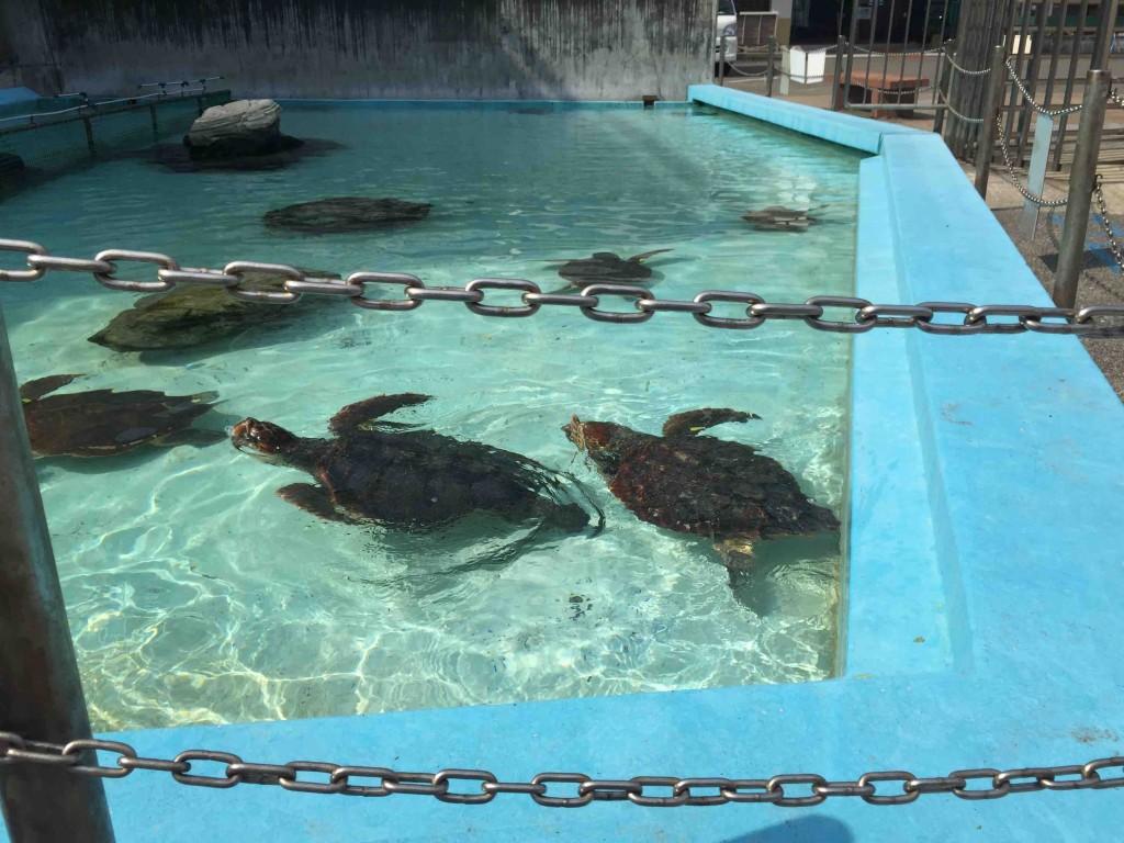 大人のウミガメたちは、中の水槽では小さすぎて飼育できないため、屋外のプールで。餌もあげられます。
