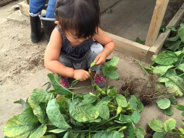 収穫後は、受付に戻って、土を落として、葉っぱも落として、実だけをより分ける作業。これは2歳児にはぴったり。