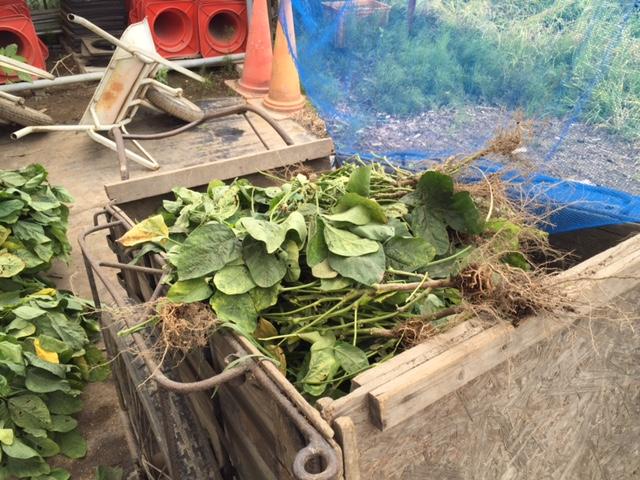取った葉っぱは、肥料としてまた畑に戻っていきます。エコ。
