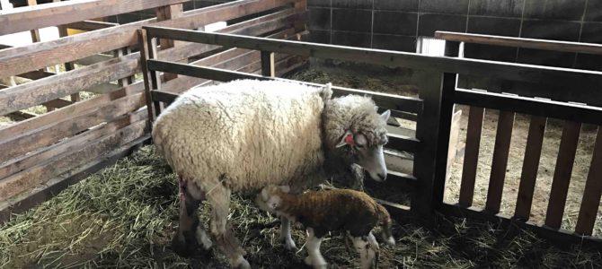 富士山のふもとの「まかいの牧場」はただいま羊の出産ラッシュ!@静岡県富士宮市
